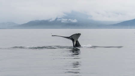 Humpback whale tail dripping with water near Reykjavik, Iceland