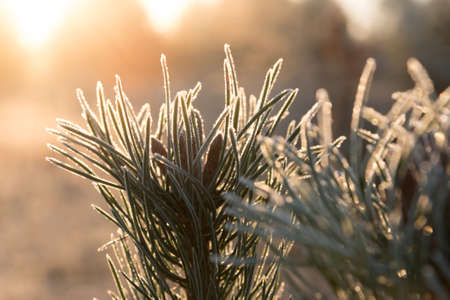 Warm light of rising sun illuminating frozen branches of a young pine on cold winter morning