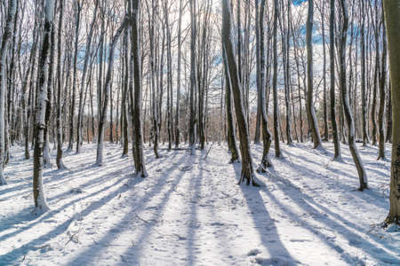 Trees casting shadows on the snow in a bright winter morning