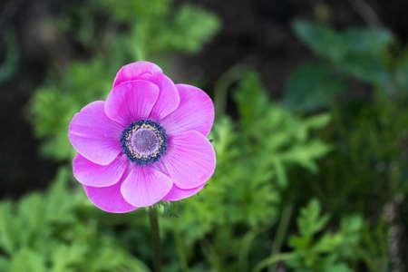 Schöne lila Blüten isoliert vom Hintergrund mit geringen Schärfentiefe.