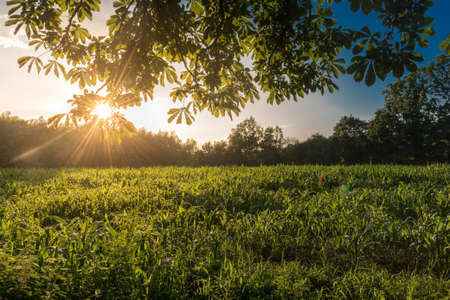 Beams of warm light of setting sun breaking through leaves over a corn field