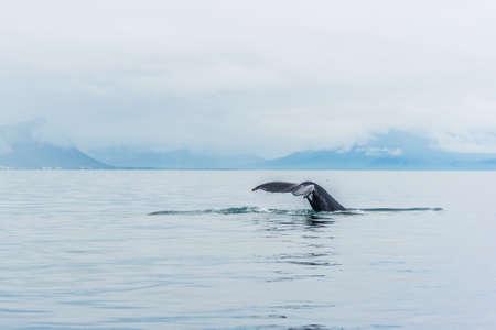 Hřbetní velrybí ocas kapající vodou u Reykjavíku na Islandu Reklamní fotografie