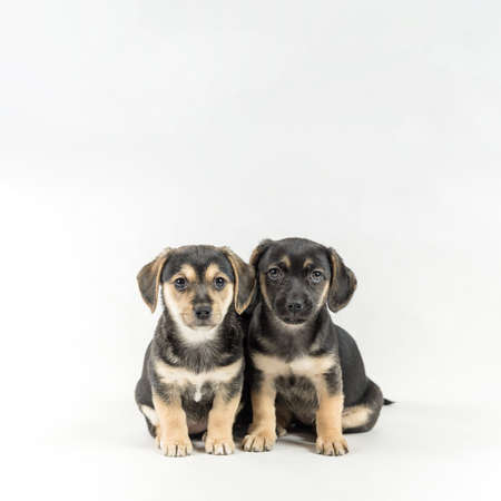 Two little poppy dogs sitting next to each other isolated on white background with copy space in upper part