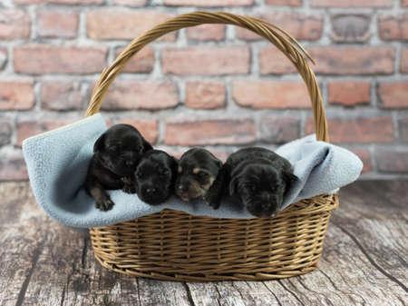 밀짚 바구니 안에 작은 담요에 서로 옆에 함께 자고있는 작은 검은 색 양귀비 개 그룹