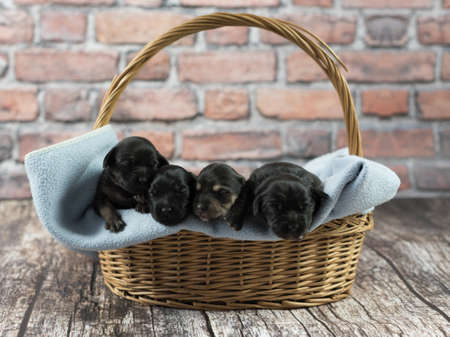 A group of tiny black poppy dogs sleeping together next to each other on a small blanket inside a straw basket