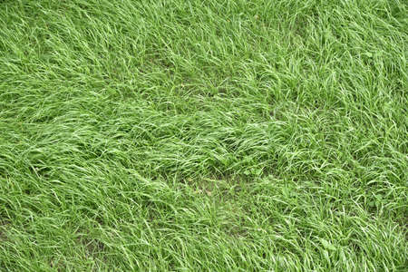 Texture of grass Standard-Bild