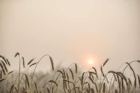 안개가 자욱한 여름 아침에 밀의 블레이드 스톡 콘텐츠