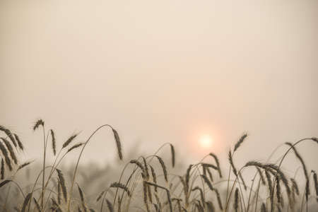 Blades of wheat in a foggy summer morning