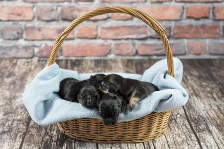 Tiny poppy dogs sleeping together Standard-Bild