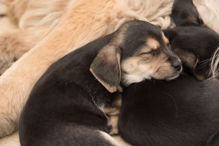 Tiny poppy dogs sleeping together Reklamní fotografie