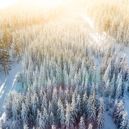 Drone shot of pine trees covered with snow 스톡 콘텐츠