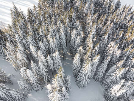 Drone shot of pine trees covered with snow Standard-Bild