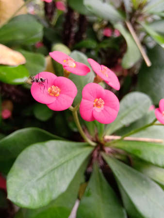 A bunch of four Euphorbia flowers and have an ant on it.Both flower and ant is in focus.