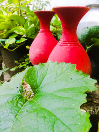 A Ground level view of two earthen pots placed side by side behind a bid green leaf of pumpkin.The pots are placed outside under the sunlight.The leaf has veins and have irregular shape.