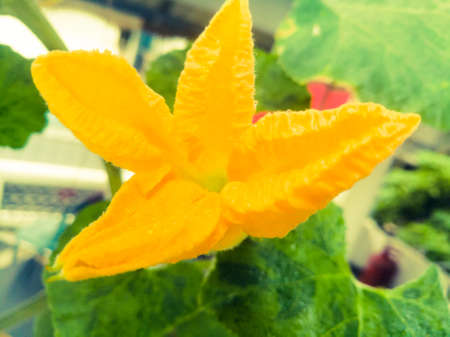 A closeup shot of an yellow pumpkin flower.The flower has four petals on it.The petals are sharp at the tip.