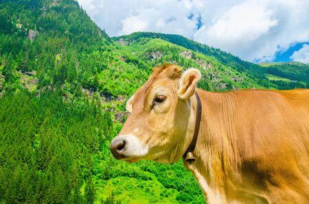Alpine brown cow on green meadow, Austria photo