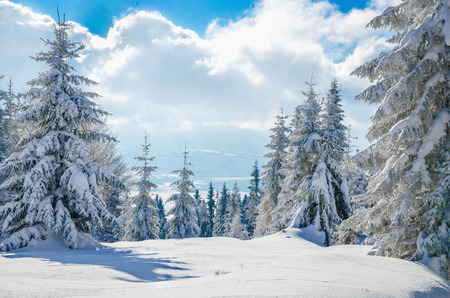 snow tree: Panoramic view  from winter mountain on forest  and cloudy sky, Gorce, Poland