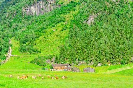 ows: Green alpine meadows in Zillertal area, Austria