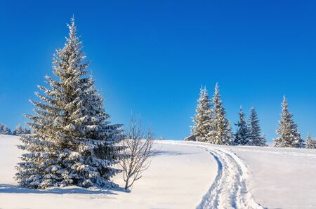 Unbelievably fairytale winter landscape with snow-covered pine trees on the background of blue sky