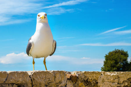 Seagull portrait against a blue sky Stock Photo