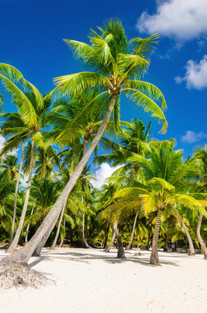 Exotic high palm trees on wild beach against the azure waters of Caribbean Sea,
