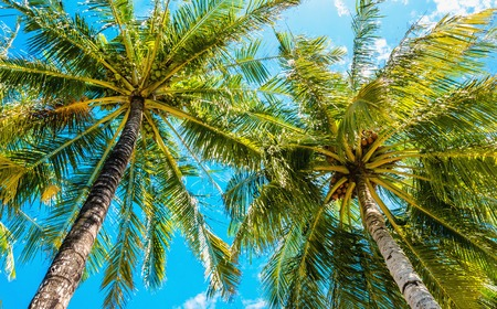 Exotic tall palm trees seen from below on a background of blue sky