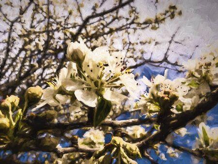arbre fruitier: Fleurs d'arbres fruitiers - printemps commen�ant - effet peinture