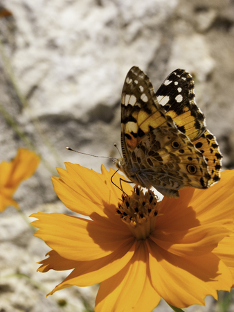 A Butterfly Nectaring On An Orange Flower Stock Photo