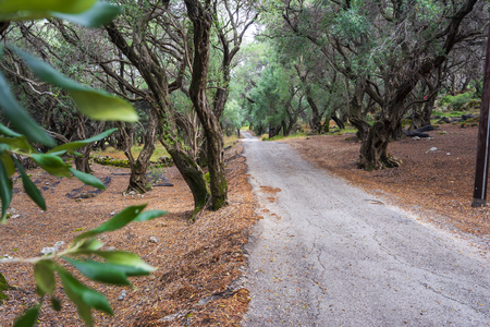 A path through the olive forest at Corfu, Greece, Europe