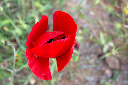 Poppy flower isolated in green field on a sunny day 免版税图像