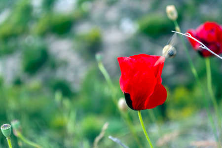 Poppy flower isolated in green field on a sunny day 免版税图像 - 159278580