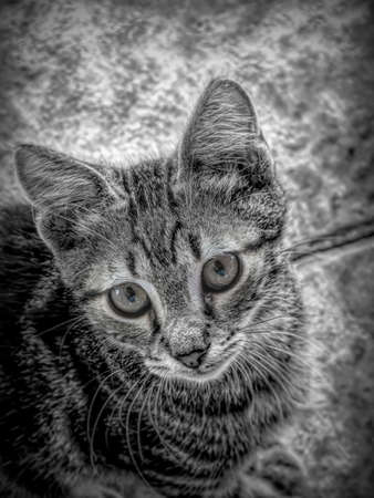 Close-up portrait of a tabby house cat in black and white.