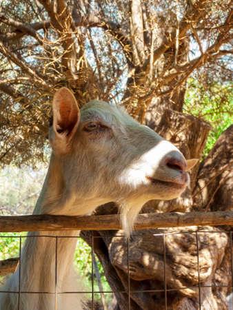 Portrait of a brown goat. Greece. 免版税图像