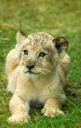 A lion cub head portrait watching in a game park in South Africa