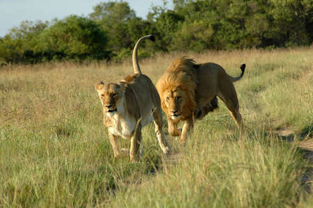 A lion chasing a lioness in a game park in South Africa Stock Photo