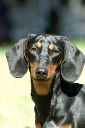 A dog head portrait of a miniature black and tan smooth haired Dachshund watching other dogs in the backyard