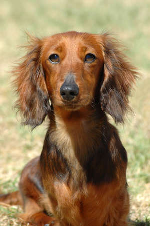 A beautiful little brown long haired miniature Dachshund dog watching other dogs in the backyard