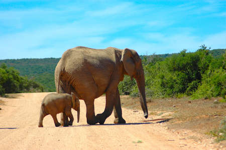 An active African elephant mother and  calf are walking next to a water hole in a game park in South Africa while the herd of other elephants are waiting