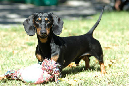 A dog head portrait of a miniature black and tan smooth haired Dachshund watching other dogs in the backyard  Standard-Bild
