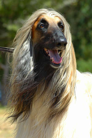 A beautiful Afghan hound dog head portrait watching other dogs in the park  Stock Photo
