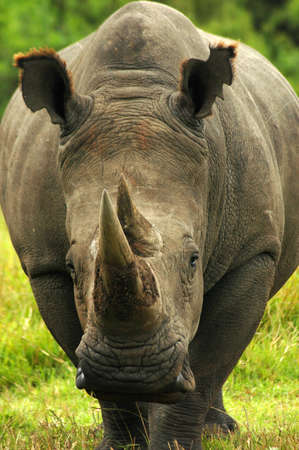 White Rhinoceros - Witrenoster (Ceratotherium simum) watching other rhinoceroses and walking in a game park in South Africa