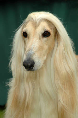 A beautiful Afghan hound dog head portrait with sad expression in the face watching other dogs in the park