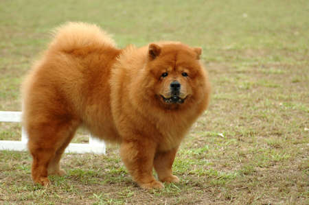 A beautiful red Chow Chow dog with cute expression in the face standing and watching other dogs in the park Stock Photo - 880176