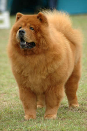 A beautiful red Chow Chow dog with cute expression in the face standing and watching other dogs in the park  Standard-Bild