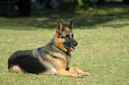 A beautiful obedient German Shepherd dog head portrait with alert expression in the face lying on the lawn and watching other dogs