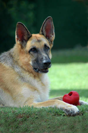 A beautiful German Shepherd dog head portrait with cute expression in the face lying on the lawn with a red toy and watching other dogs