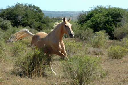 A beautiful African horse with alert expression in the face galloping on a paddock of a farm in South Africa