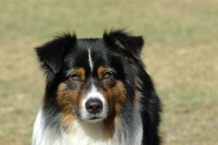 A beautiful tricolor Australian Shepherd dog head portrait with cute expression in the face watching other dogs in the park