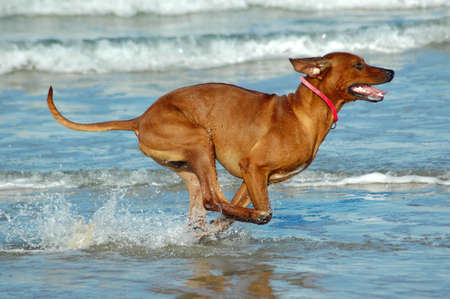 A beautiful active African male Rhodesian Ridgeback hound dog in action with cute expression in the face playing wild by jumping and running fast in the sea on the beach in South Africa in summertime