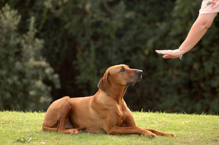 A white hand of a caucasian woman showing her obedient Rhodesian Ridgeback hound dog with cute expression in the face the sign for DOWN outdoors in the park